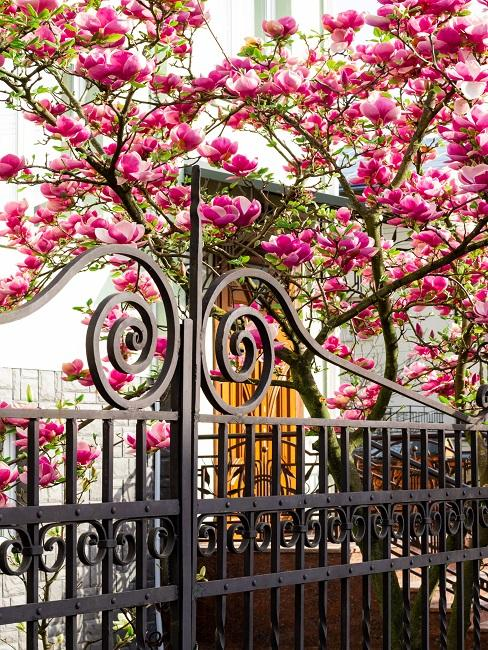 Frans hekwerk met roze bloesem boom