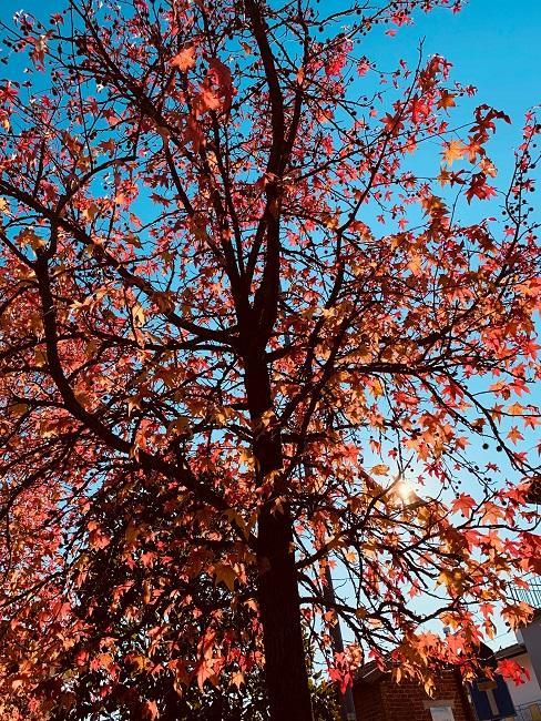 Boomsoorten in tuin met groot boom met rood herfstblad