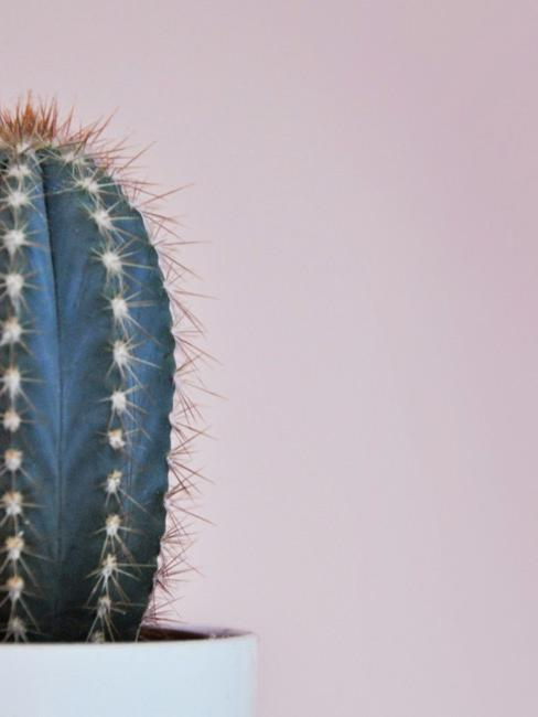 Kaktus vor rosa Wand
