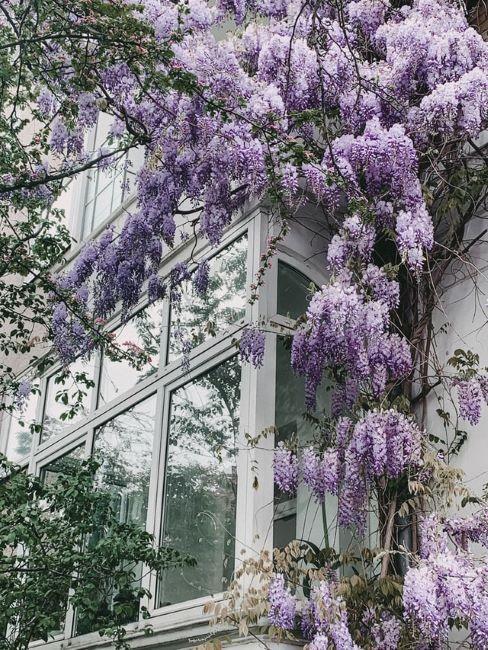 facciata esterna con glicine rampicante