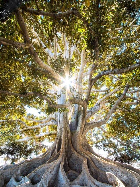 Boomsoorten een grote boom met wortels boven de grond met groen blad