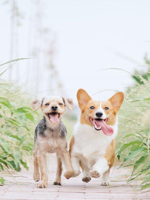 Twee kleine honden lopen over een pad met groen en gras aan elke kant van het pad
