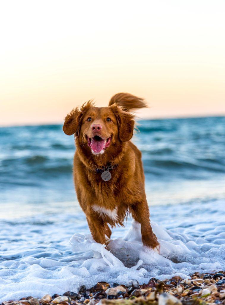Blije bruine retriever hond rent vanuit de zee tegemoet