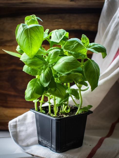 Basilicum plant in pot