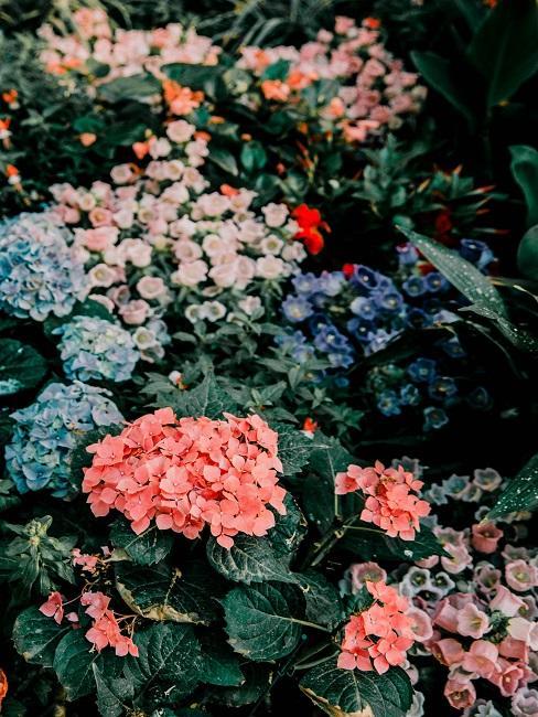 Bloembed gekleure hortensia's