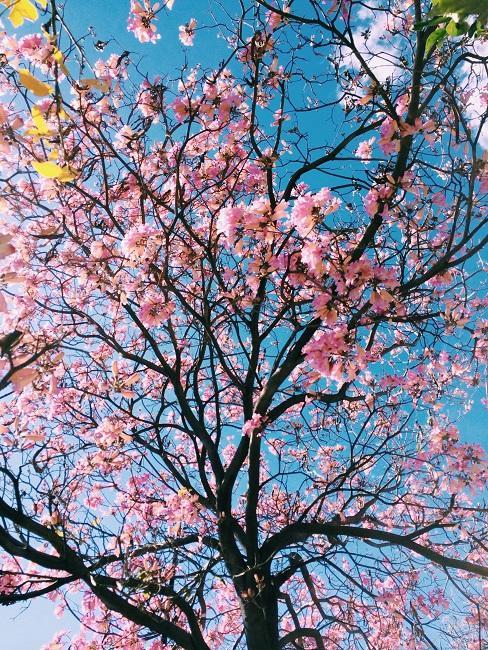 Japanischen Garten anlegen Kirschbaum