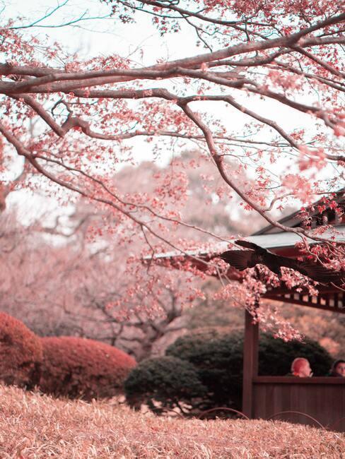 Japonská zahrada s kvetoucí sakurou