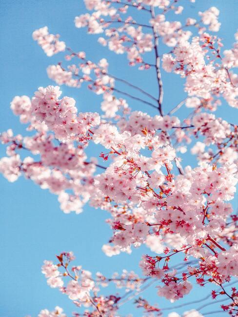 Kvetoucí sakura v japonské zahradě