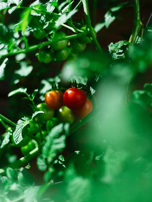 Pěstování-rajřat-na-balkoně 2