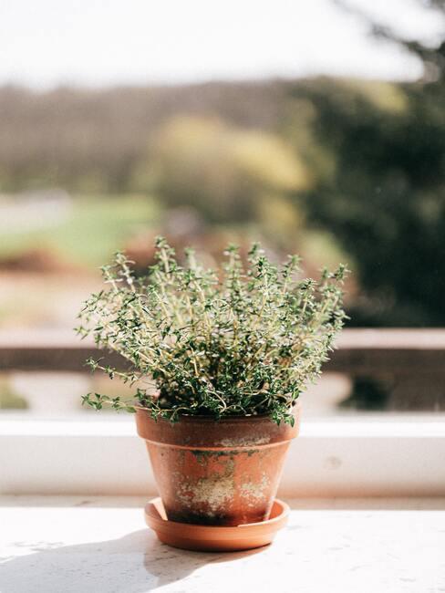 jak pěstovat bylinky