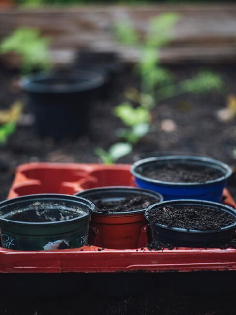 jak pěstovat česnek 03