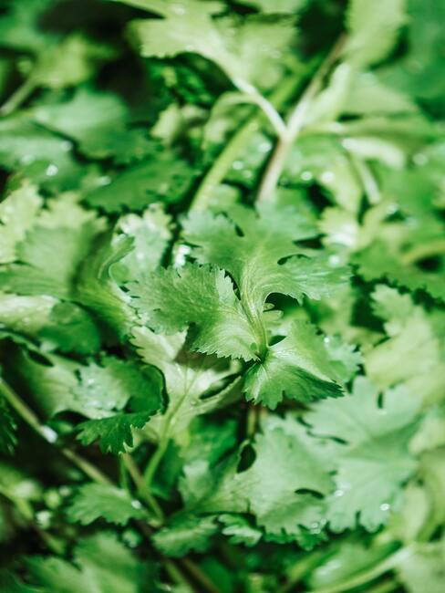 koriajak pěstovat koriandrndr