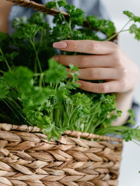 jak pěstovat koriandr (8)