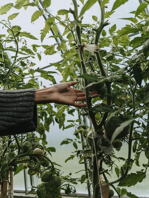 Jak pěstovat rajčata (5)