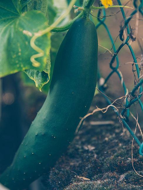 Jak-pěstovat-okurky