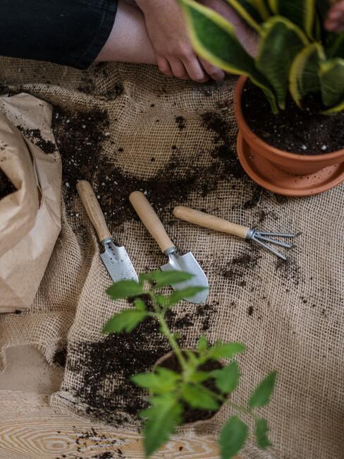 Jak pěstovat rýmovník 03