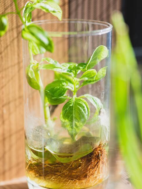 pěstování ve vodě