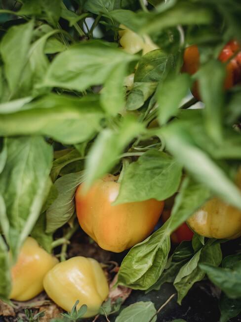 paprika ve skleníku