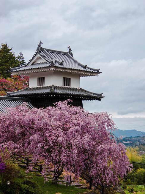 Okrasná třešeň a švestka (Prunus)