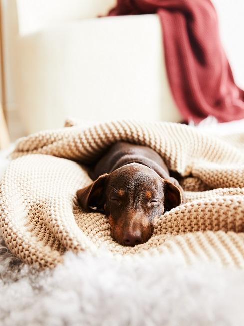 Ein kleiner Hund liegt eingekuschelt in eine weiße Strickdecke auf dem Boden im Wohnraum.