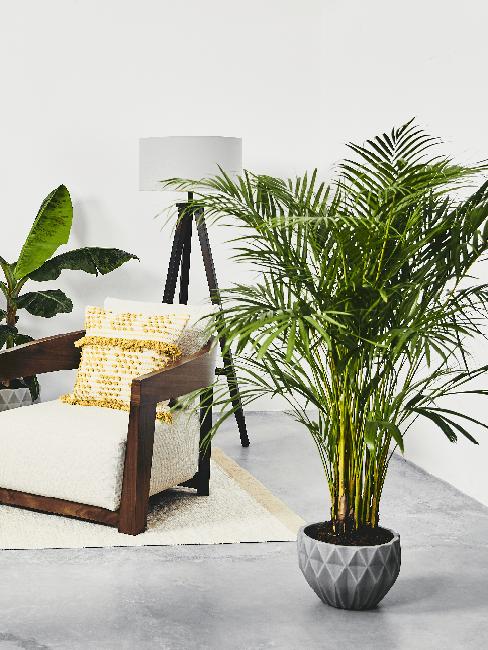 Wohnzimmer Pflanze Palme