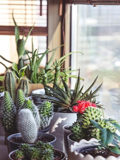 Sukkulenten Deko verschiedene Arten auf Fensterbank