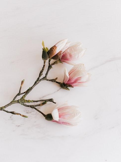 Kirschblütenzweig auf weißem Untergrund