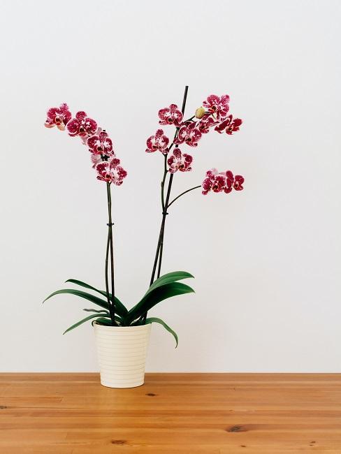 Pinkfarbene Orchideen Deko in weißem Tops auf dem Boden