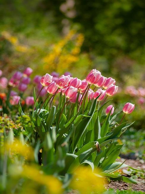 Rosafarbene Tulpen im Garten