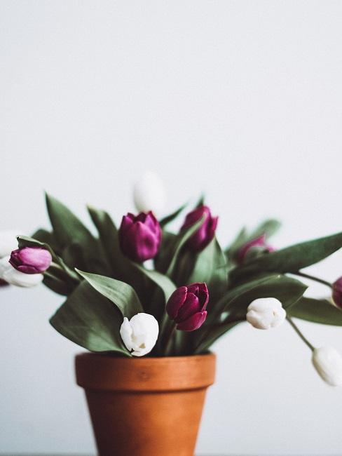 Lila und weiße Tulpen in braunem Bluemntopf
