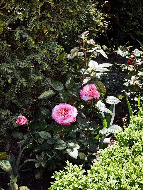 Wallerstein Gardens Rosen