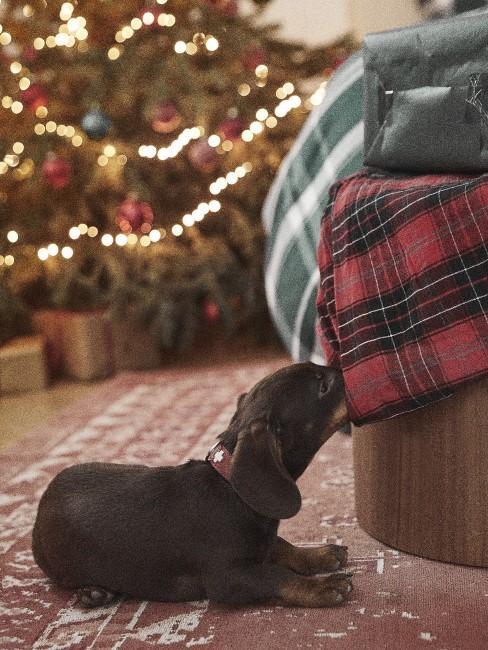 Kleiner Hund liegt neben dem Bett und vor einem Weihnachtsbaum