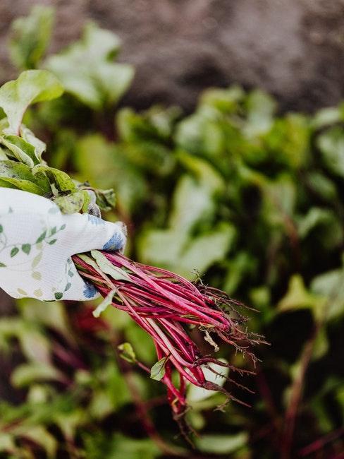 Gärtnern für Anfänger auch Gemüse pflanzen