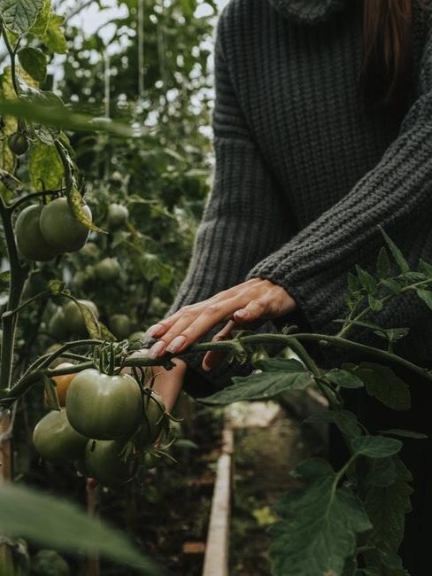 Frau betrachtet grüne Tomaten an der Staude