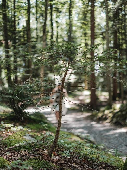 Waldbaden Baum pflanzen kleiner Baum