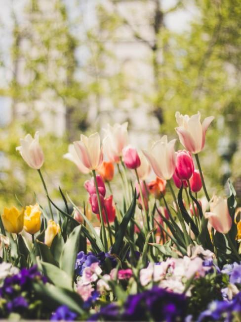 Bunte Blumen blühen im Frühling im Garten