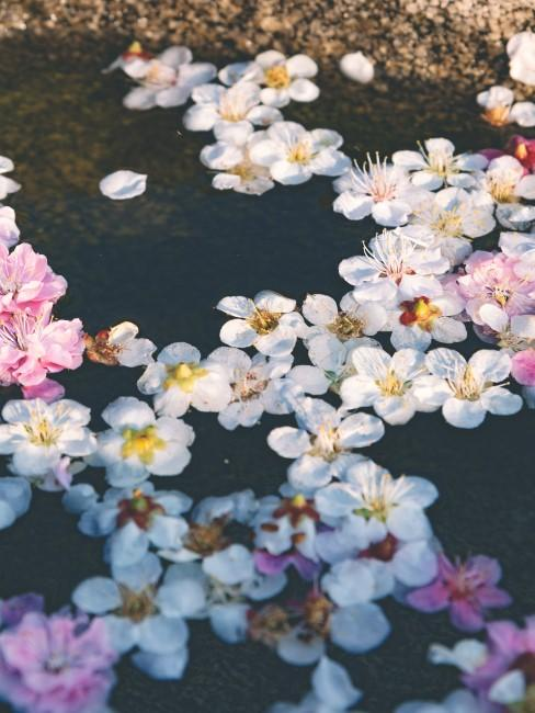 Blütenstaub von Kirschblüten im Frühling