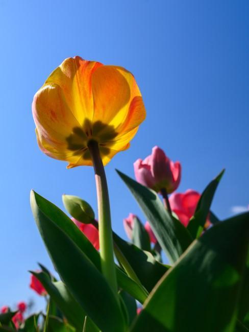 Tulpen blühen im Frühling