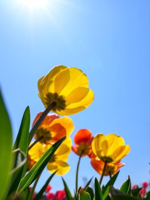 Gelbe Tulpen blühen im Frühling