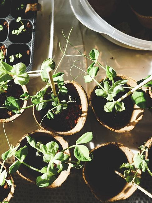 Voranzucht von Kräutern und Gemüse