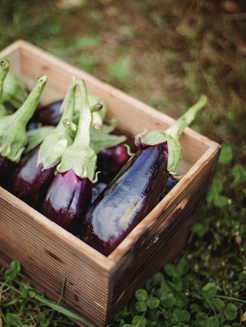 Reife Auberginen in einer Box im eigenen Garten