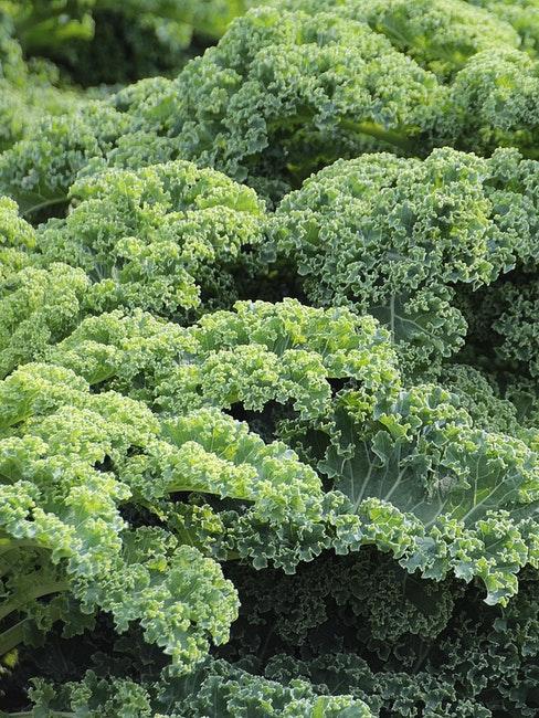 Grünkohl ist nach dem Aussaatkalender ein klassisches Wintergemüse