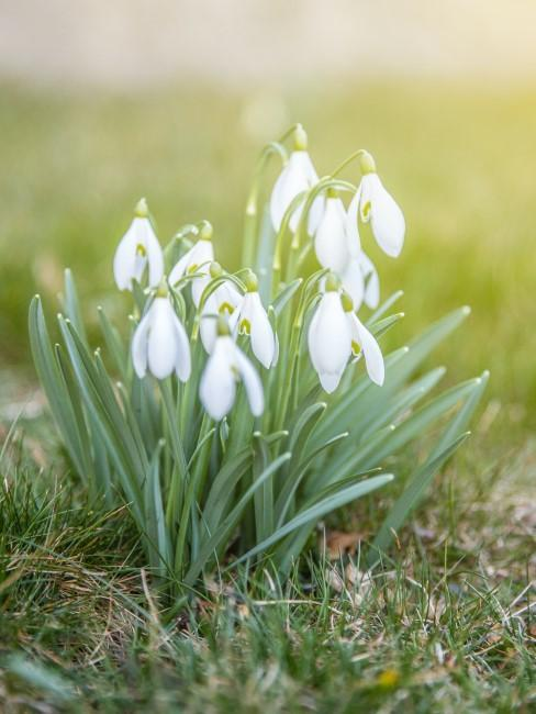 Schneeglöckchen im Frühling auf der Wiese