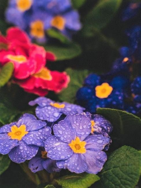 Bunte Primeln im Frühling