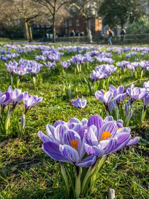 blühende Krokusse auf Wiese im Frühling