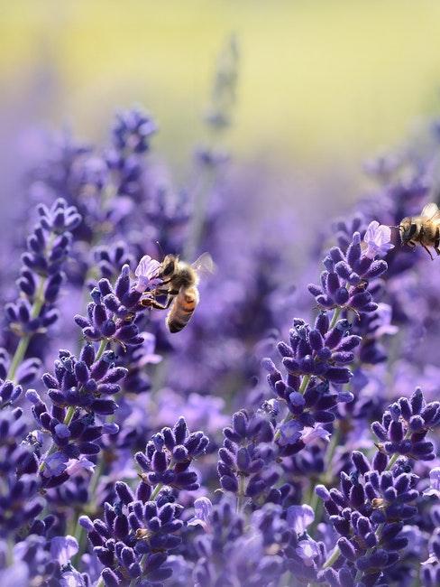 Lilafarbener Lavendel mit Bienen