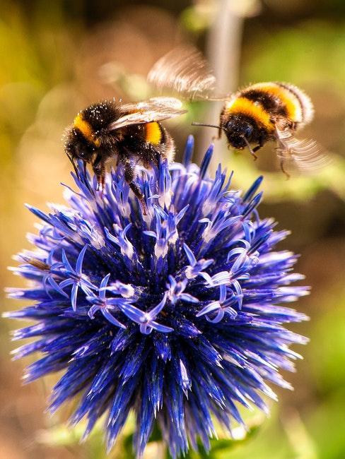 Bienenfreundliche Blumen im Garten