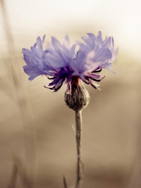 Eine lila blühende Blume