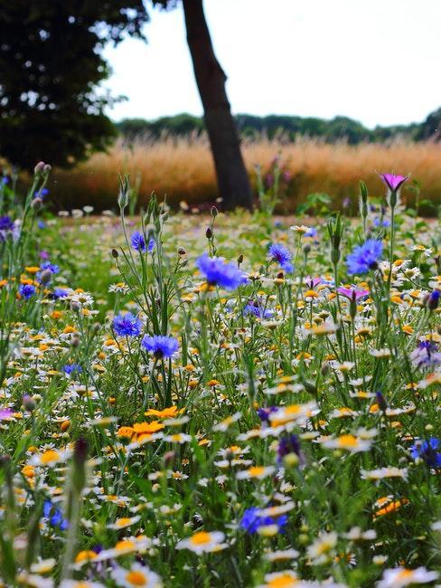 Blühende Blumenwiese anlegen