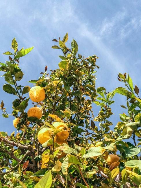 Zitronenbäume im Garten